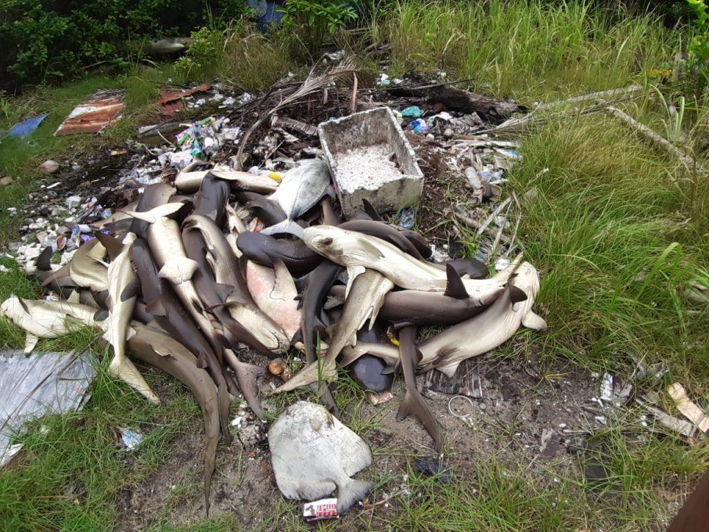 Penampakan bangkai ikan hiu yang mati mendadak di penangkaran ikan Karimunjawa. (dok. Balai Taman Nasional Karimunjawa)