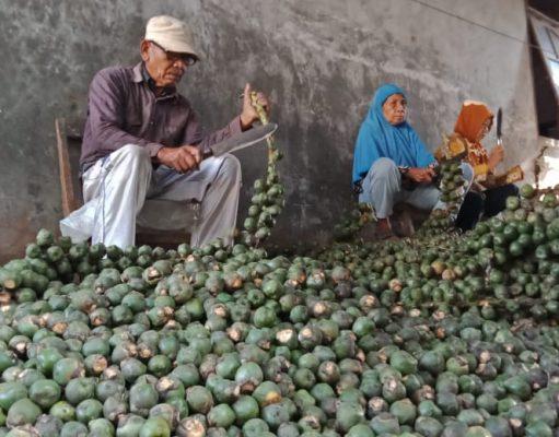 Warga memotong biji aren dari tangkainya untuk diolah menjadi kolang-kaling di Desa Jatirejo, Gunungpati