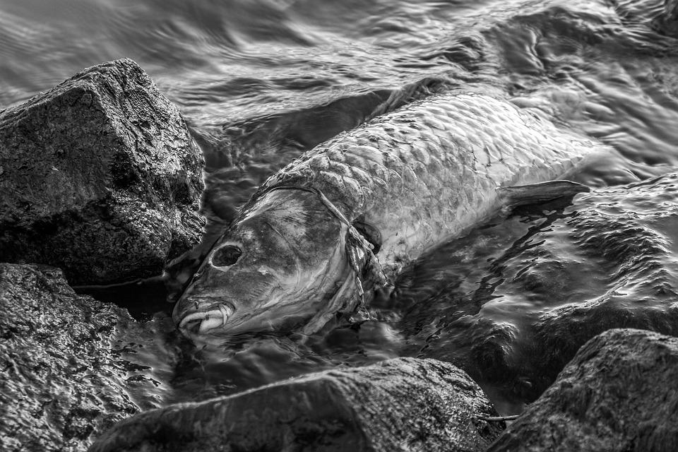 Ilustrasi ikan mati. (pixabay)